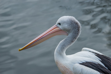Beautiful black and white Australian pelican with red beak