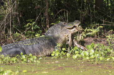 American alligator (Alligator mississippiensis) eating a deer, Brazos Bend state park, Needville, Texas, USA.