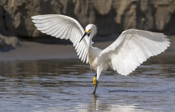 Snowy egret (Egretta thula) hunting in tidal marsh, Galveston, Texas, USA.