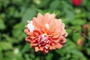 Dahlia in the garden