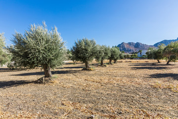 Olive trees on the Rhodes island, Greece