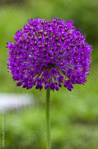 Beautiful purple allium flower with green natural background beautiful purple allium flower with green natural background perfect image for pink alliums flowers mightylinksfo