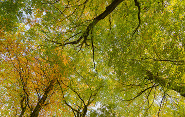 Looking up into typical British birch woodland canopy in autumn