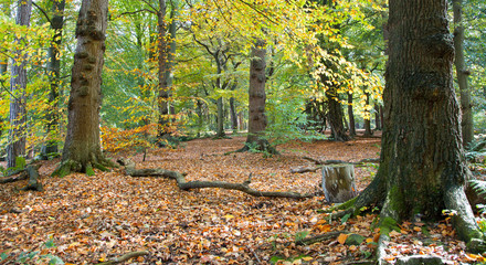 Typical British birch woodland in autumn