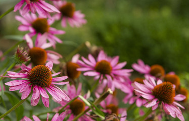 Pink Echinacea Flowers. Close up of pink Echinacea flowers. Pink Echinacea Flowers