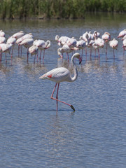 Flamingos at the Camargue region