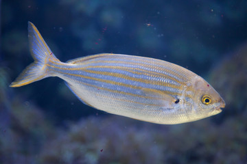 Salema porgy fish (Sarpa salpa)