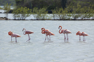 Flamingos at Curacao