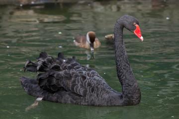 Black swan (Cygnus atratus).