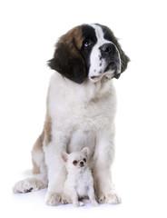 puppies saint bernard and chihuahua
