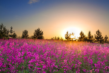 summer rural landscape with purple flowers on a meadow and  sunset