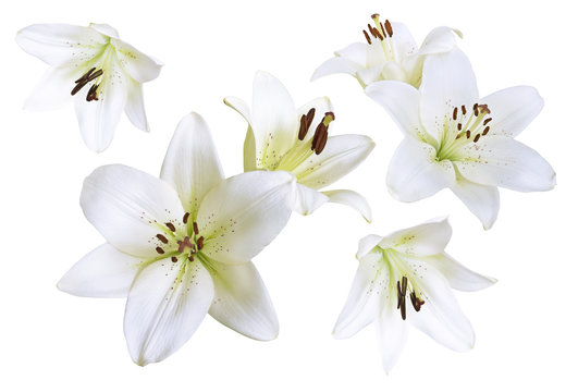 Lily flowers background