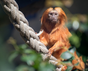 primate on rope looking at camera