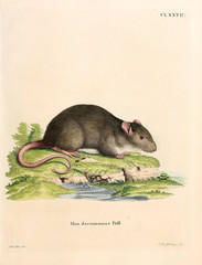 Illustration of rodents