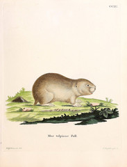 Illustration of rodents.