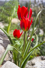Tulip of the mountains