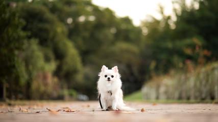 初秋の遊歩道とチワワ