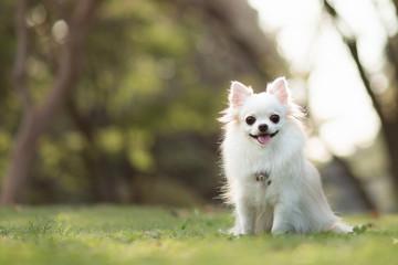 笑顔のロングコートチワワ