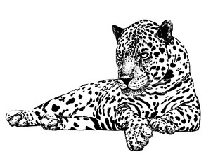 Hand drawn sketch style leopard. Vector illustration isolated on white background.