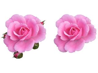 薔薇の花素材 ピンク