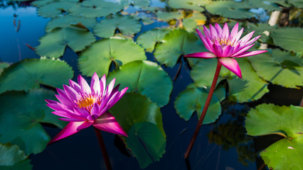 Beautiful of water lilly