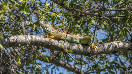 Iguana is a genus of herbivorous lizards that are native to tropical areas of Mexico and America but found in Thailand because it imported for the pet.