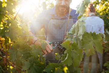 Man and woman cutting grape in vineyard.
