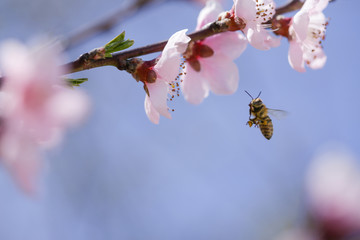 Bee collecting pollen on pink flower