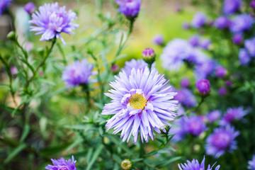 Aster flowers bloom in the garden. Selective focus.