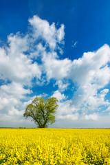 Fototapete - Kulturlandschaft im Frühling, blühendes Rapsfeld, große solitäre Linde, blauer Himmel
