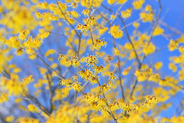 Witch Hazel Yellow Flowers Blooming in Winter