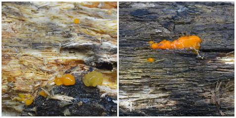 dacrymyces stillatus fungi