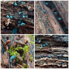 Chlorociboria Aeruginascens fungus