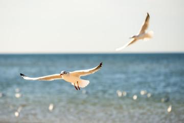 Seeschwalbe im Flug über die Ostsee in Polen
