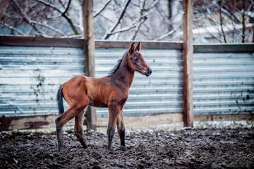 Newborn colt walks in winter in the pen