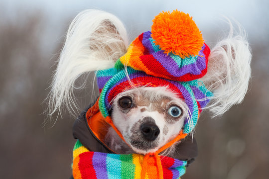Dog fashion concept. Portrait of young Chinese crested dog with eyes of different colors wearing funny bobble hat, scarf, posing in winter park, looking at camera. Close up. Outdoor shot
