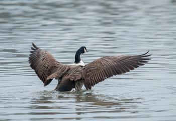 Canada Goose Bathing