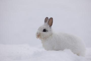 white rabbit on the snow