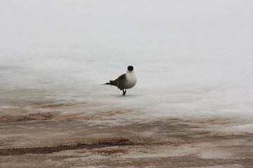 Черноголовая чайка, (Larus melanocephalus) на снегу.