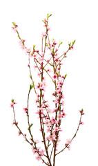 Sakura flowers isolated