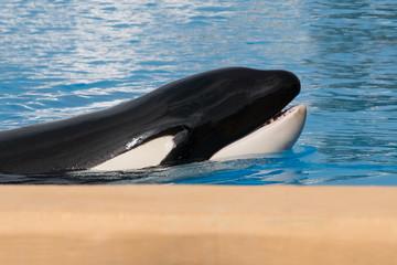 Orca whale , killer whale portrait
