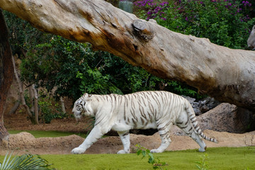 white tiger -  white bengal tiger in zoo