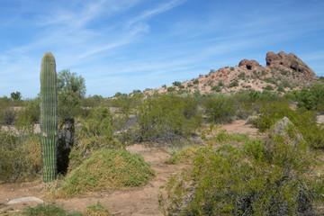 A saguaro cactus in the Arizona desert