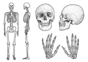 Human skeleton collection illustration, drawing, engraving, ink, line 