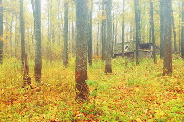 oak grove morning fog autumn yellow foliage abandoned hut in the thicket of the forest