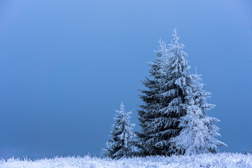 Christmas fir tree covered with hoarfrost and snow