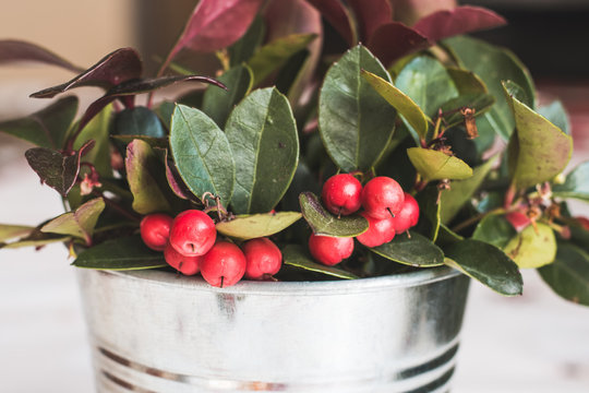 Gaultheria Procumbens - WIntergreen teabearry plant in silver pot