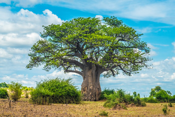 Photo sur cadre textile Baobab Baobab tree, Chobe National Park, Botswana