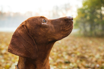 Portrait of Hungarian Vizsla sitting outdoors in autumn park