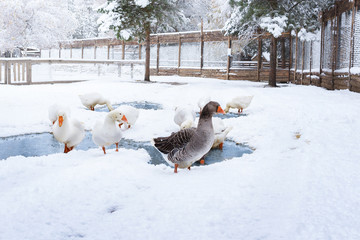 geese walk in the courtyard among the snow in winter